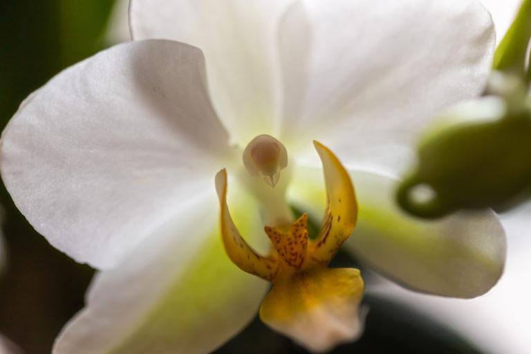 兰花Lánhuā – orchid